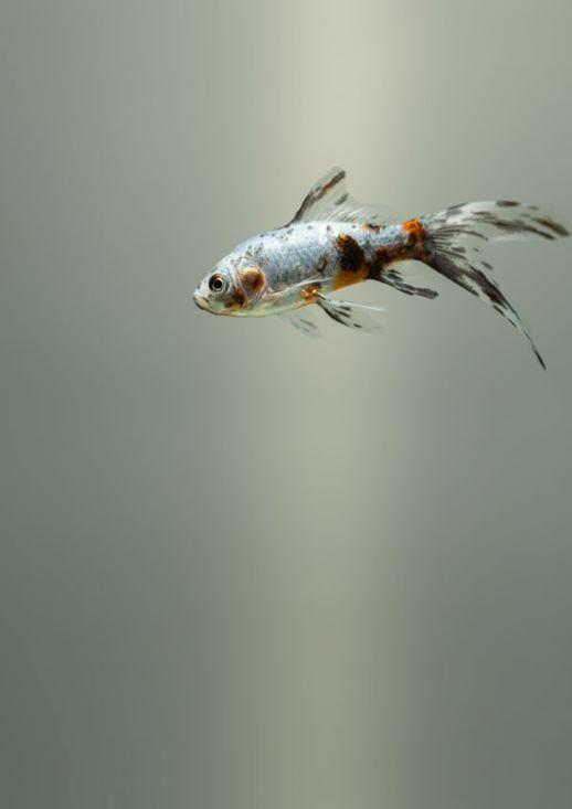 Fish MEPET