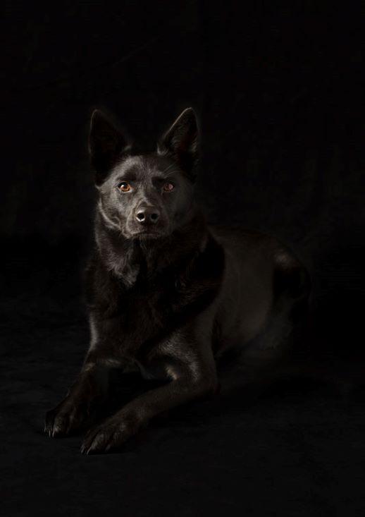 MEPP-AustralianKelpie-Dog-2