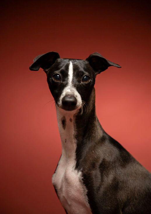MEPP-ItalianGreyhound-Dog-Portrait