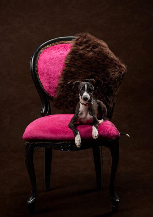 MEPet Italian Greyhound