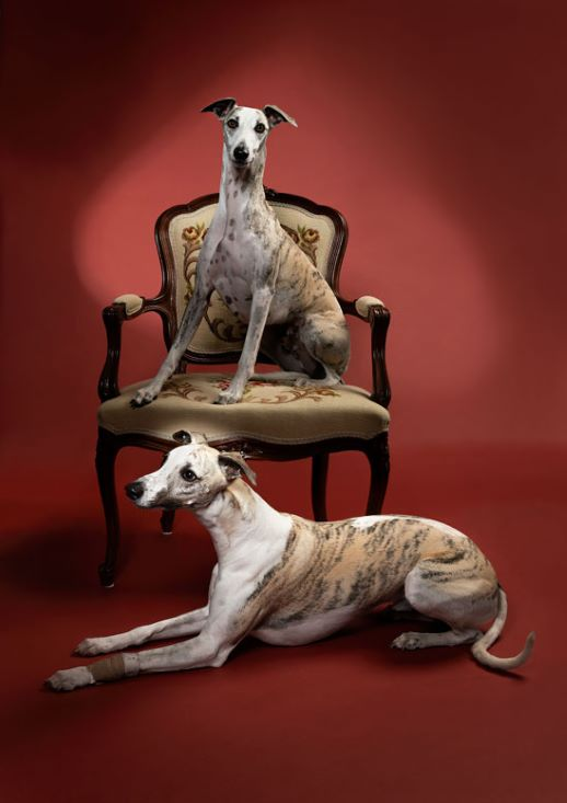 MEPetPhotography Whippets